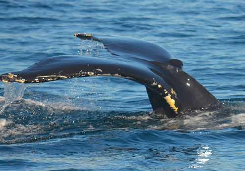 Llegaron los gigantes del Mar de Cortes a Puerto Peñasco