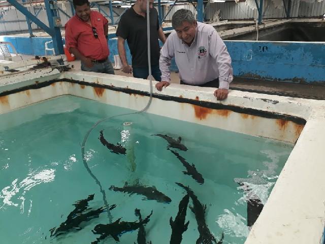 Pide diputado Lázaro Espinoza, apoyar al fomento de la producción acuícola de totoaba en el estado